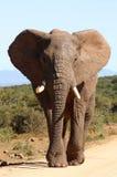 Elefante africano Bull fotografie stock