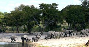 Elefante africano, Bwabwata animais selvagens do safari de Namíbia, África vídeos de arquivo