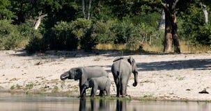 Elefante africano, Bwabwata animais selvagens do safari de Namíbia, África filme
