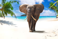 Elefante africano che cammina sulla spiaggia fotografia stock