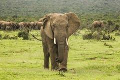 Elefante africano che cammina verso la macchina fotografica Fotografie Stock Libere da Diritti