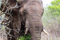 Elefante africano che fa pagare attraverso l'albero immagini stock libere da diritti