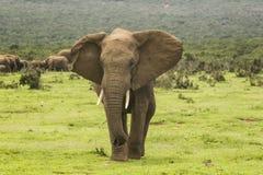 Elefante africano che mostra aggressione Immagine Stock