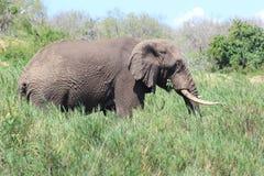 Elefante africano che pasce Immagine Stock