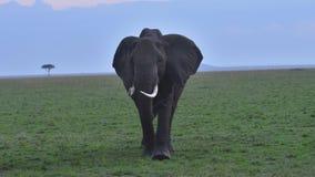 Elefante africano che pasce le pianure fotografia stock