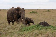 Elefante africano com criança, quando no safari em Masai Mara, Kenya foto de stock royalty free