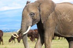 Elefante africano com gado de Ankole Fotos de Stock Royalty Free