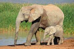 Elefante africano com vitela Imagem de Stock Royalty Free