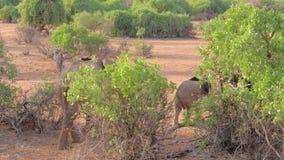 Elefante africano con el bebé que camina en los arbustos de la reserva Kenia de Samburu metrajes