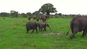 Elefante africano con el becerro metrajes