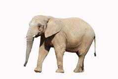 Elefante africano con el camino de recortes Fotografía de archivo libre de regalías