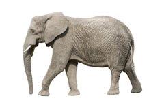 Elefante africano con il percorso di residuo della potatura meccanica Fotografia Stock