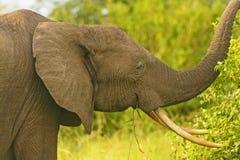 Elefante africano con le grandi zanne Fotografie Stock Libere da Diritti