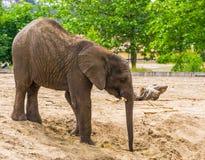 Elefante africano con le piccole zanne in primo piano, specie animale vulnerabile dall'Africa fotografie stock