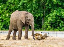 Elefante africano con le piccole zanne, specie animale vulnerabile dall'Africa fotografia stock libera da diritti