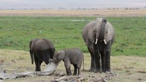 Elefante africano con los becerros jovenes almacen de metraje de vídeo