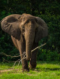 Elefante africano con los oídos hacia fuera Imagen de archivo