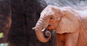 Elefante africano con spazio per la copia Immagine Stock
