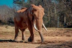 Elefante africano con tusks fotografia stock libera da diritti
