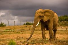 Elefante africano contro un cielo scuro Fotografia Stock Libera da Diritti
