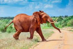 Elefante africano de Bull, rojo del fango de Tsavo Foto de archivo libre de regalías