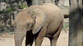 Elefante africano de Bush almacen de metraje de vídeo