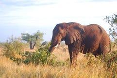Elefante africano de Bush (africana del Loxodonta) Fotos de archivo