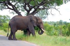 Elefante africano de Bush (africana del Loxodonta) Imágenes de archivo libres de regalías