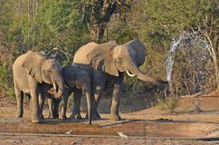 Elefante africano de Bush (africana del Loxodonta) Foto de archivo libre de regalías