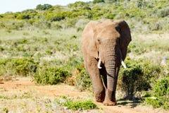 Elefante africano de Bush que asalta abajo de la colina Foto de archivo libre de regalías