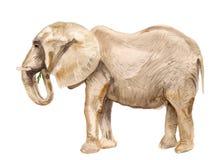 Elefante africano de la acuarela Fotos de archivo