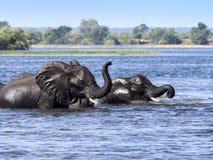 Elefante africano del elefante, africana del Loxodonta, en el río de Kwango, parque nacional de Chobe, Botswana fotos de archivo