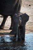 Elefante africano del arbusto del bebé en el río Imágenes de archivo libres de regalías