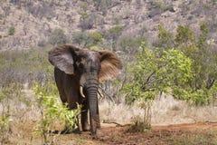 Elefante africano del arbusto en el parque nacional de Kruger Imagenes de archivo