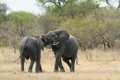 Elefante africano del arbusto en el parque nacional de Kruger Foto de archivo libre de regalías