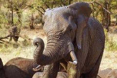 Elefante africano del arbusto en el parque nacional de Kruger Imágenes de archivo libres de regalías