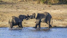 Elefante africano del arbusto en el parque nacional de Kruger Fotografía de archivo