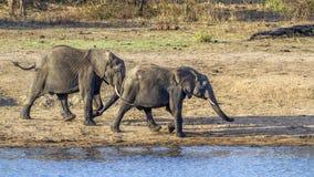 Elefante africano del arbusto en el parque nacional de Kruger Imagen de archivo