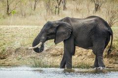 Elefante africano del arbusto en el parque nacional de Kruger Fotos de archivo