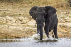 Elefante africano del arbusto en el parque nacional de Kruger Foto de archivo