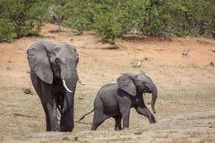 Elefante africano del arbusto en el parque nacional de Kruger, Suráfrica imagen de archivo libre de regalías