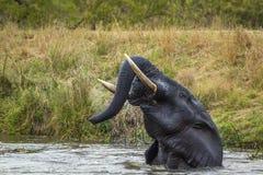 Elefante africano del arbusto en el parque nacional de Kruger, Suráfrica Fotografía de archivo libre de regalías
