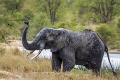 Elefante africano del arbusto en el parque nacional de Kruger, Suráfrica Imagenes de archivo