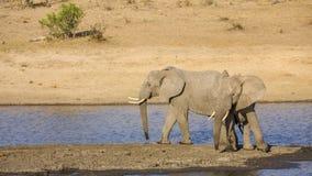 Elefante africano del arbusto en el riverbank, en el parque de Kruger, Suráfrica imágenes de archivo libres de regalías