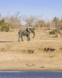 Elefante africano del arbusto en el riverbank, en el parque de Kruger, Suráfrica foto de archivo