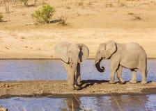 Elefante africano del arbusto en el riverbank, en el parque de Kruger, Suráfrica fotografía de archivo
