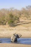 Elefante africano del arbusto en el riverbank, en el parque de Kruger, Suráfrica fotos de archivo