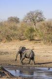 Elefante africano del arbusto en el riverbank, en el parque de Kruger, Suráfrica fotos de archivo libres de regalías