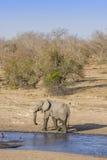Elefante africano del arbusto en el riverbank, en el parque de Kruger, Suráfrica foto de archivo libre de regalías