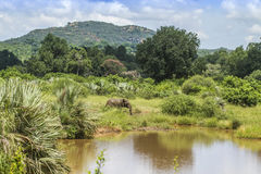 Elefante africano del arbusto en su hábitat en el parque nacional de Kruger Imagen de archivo